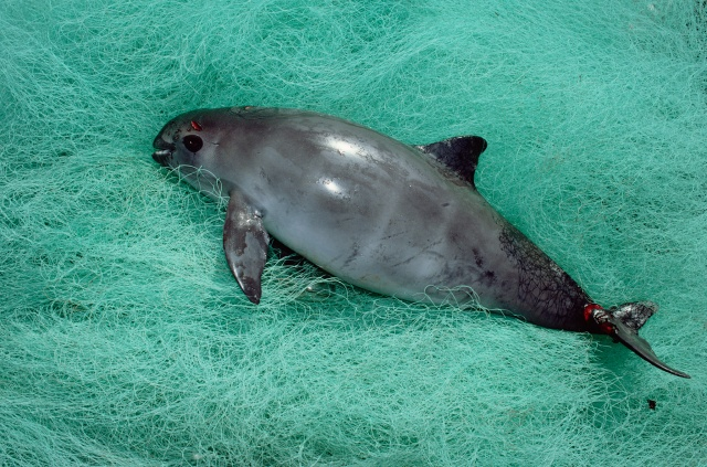 Vaquita caught in a illegal gill net